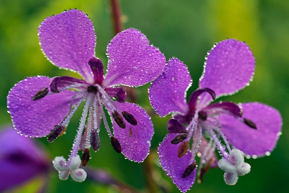 Dew Kissed Fireweed