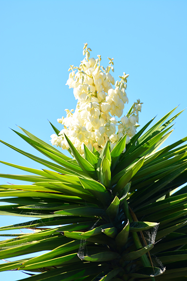 A palm tree in bloom - it is late October and this was a site I had to honor with a photo.