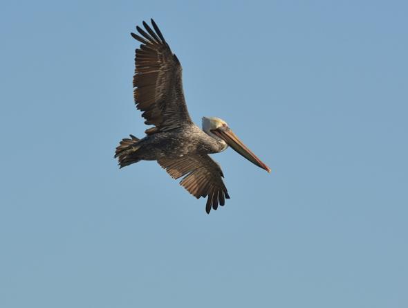 Pelican 3a