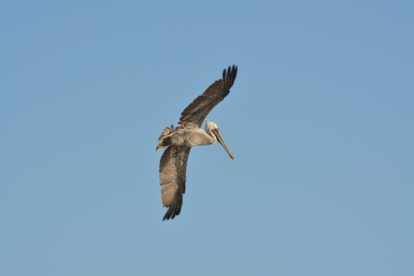 Pelican 3b