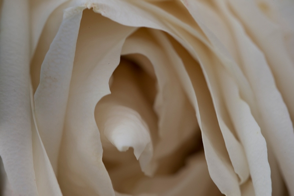 rose close up