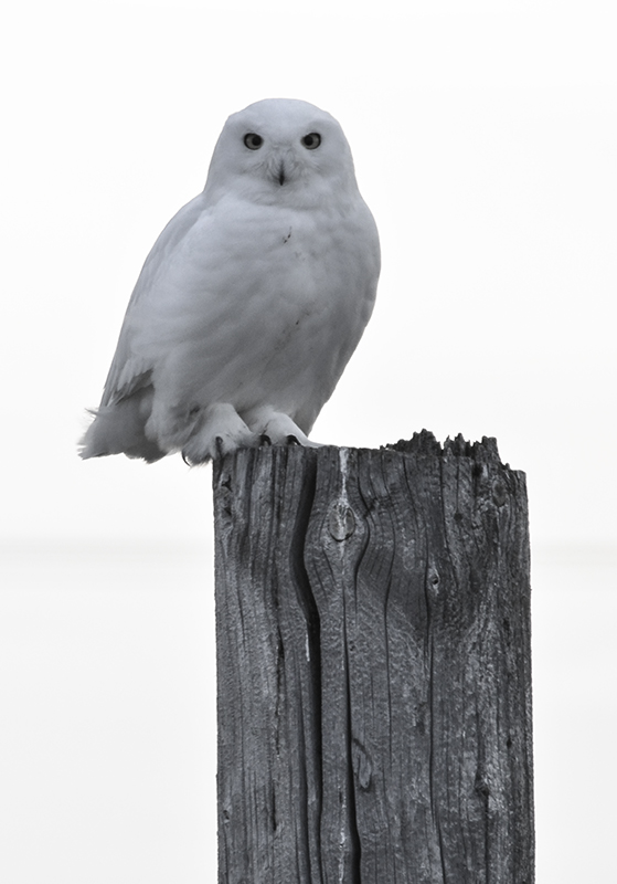 Owl _reduced