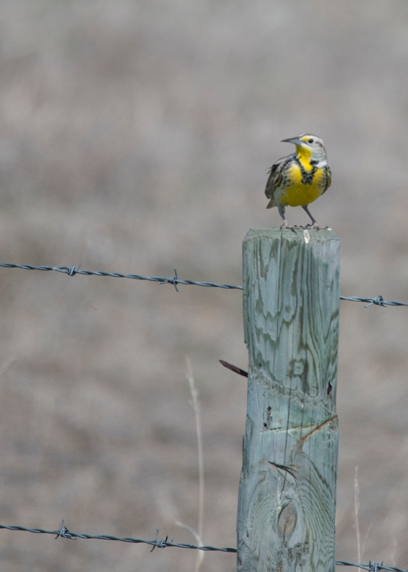 Meadowlark 1