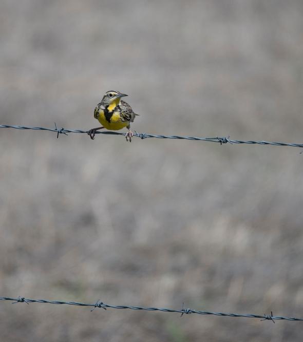 Meadowlark 2