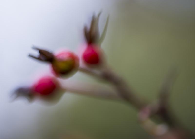018_dreamy-rosehips