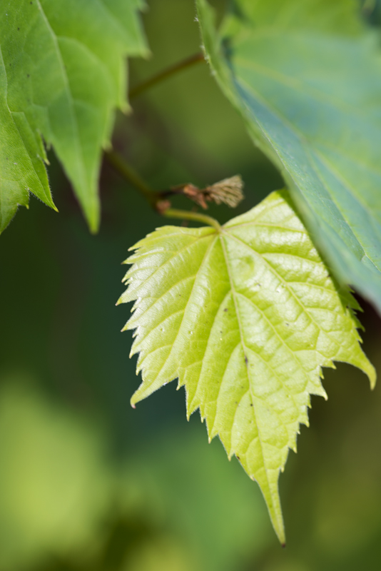 hidden-leaf