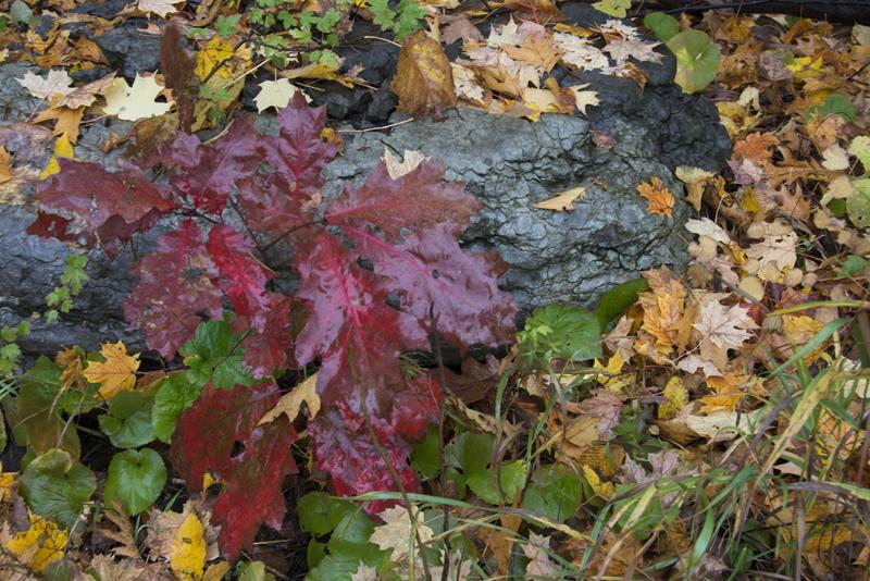 red-leaf-on-rock