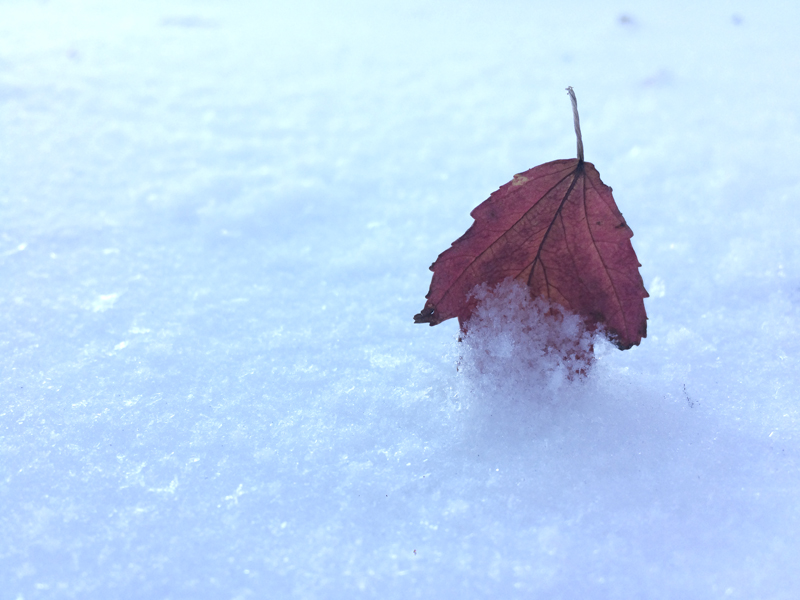 red-leaf-in-snow